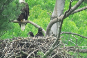 2 eaglets-about 6 weeks old