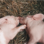 two hogs and a kiss
