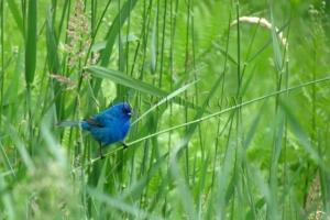 indigo bunting in grass
