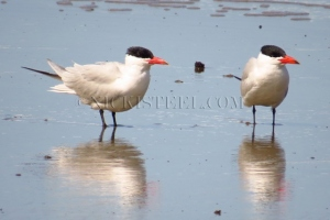 NZ Red-billed Terns
