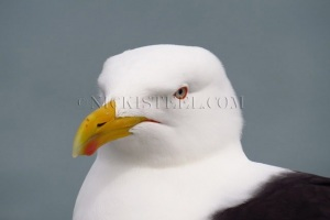 NZ blackbacked gull