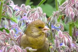 NZ green finch