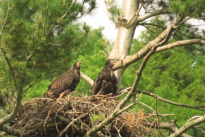 eaglets-about 2 months old
