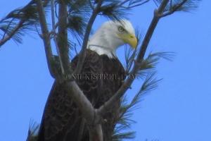 regal eagle