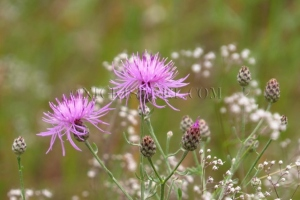 thistle & baby's breath